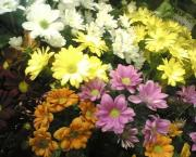 R9 Chrysantema kopretinová žlutá