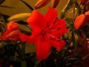 R45 Lilie oranžová