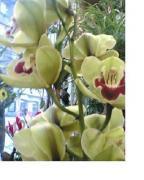 R62 Cymbidium orchidea - velká 10kv