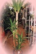 H5 Yucca