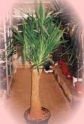 H7 Yucca