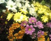 R13 Chrysantema kopretinová barvená růžová