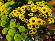 R64 Santini - drobnokvětá chrysantema zelená