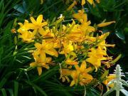 R44 Lilie žlutá