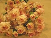 R25 Karafiát vícekvětý růžový