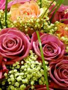 U18 růžové růže