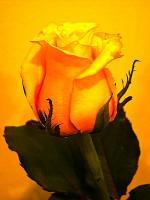 R56 Růže - délka 70 cm žlutá